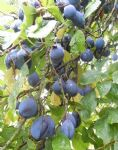 Fresh Damsons